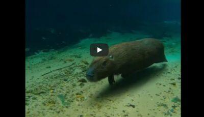 VÍDEO: Capivara boa de mergulho é flagrada no Recanto Ecológico do Rio da Prata