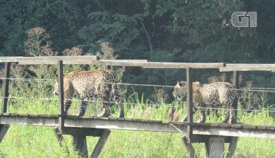 Onça-pintada com filhote são flagrados passeando em passarela de madeira em Miranda (MS)