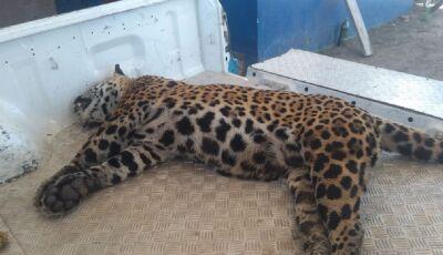 JUDIAÇÃO: Onça-pintada de 70 kg morre atropelada na rodovia que liga Bodoquena a Miranda