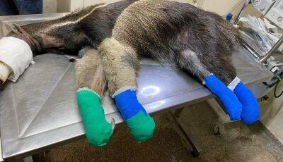 Tratamento com pele de tilápia é usado em animais feridos no Pantanal