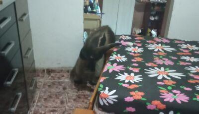 Ele só queria tirar uma 'soneca', tamanduá é capturado dentro de quarto de residência em MS