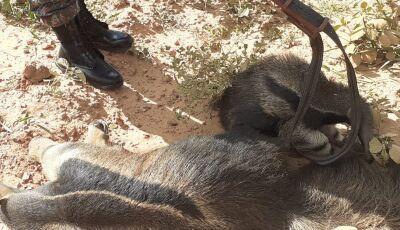 Acidente mata tamanduá-bandeira e filhote é encontrado agarrado ao corpo da mãe morta em Bonito (MS)