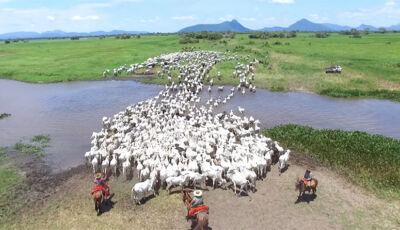 BOI BOMBEIRO: Estudos nos EUA comprovam tese no Pantanal: boi controla os incêndios