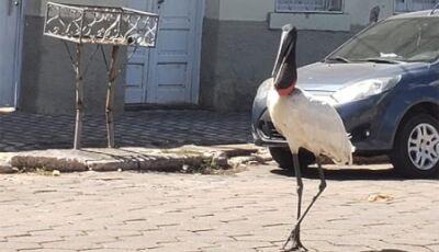VÍDEO: Com ruas vazias, tuiuiú voa no centro e produz cena linda em Corumbá, ASSISTA