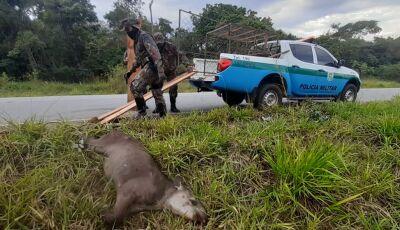 PMA de Bonito é acionada mas 'anta' na resiste e morre, ela foi atropelada na rodovia MS-178