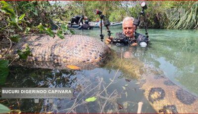 Sucuri digerindo animal é flagrada por empresário em rio de águas cristalinas em Bonito (MS)