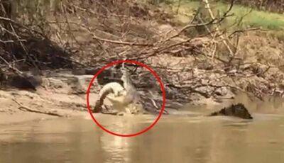 Pescadores flagram crocodilo canibal engolindo outro crocodilo em rio, Assista o Vídeo