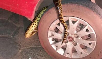VÍDEO: bombeiros retiram roda de carro para fazer 'resgate' de sucuri de 2 metros