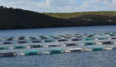 Maior exportador de tilápia do País, MS eleva produção
