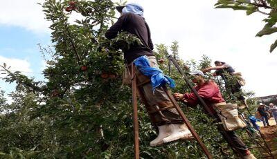 Após colheita da maçã no Sul, índios retornam ao Estado movimentando a economia dos municípios