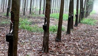 Plantio de seringueira é novo atrativo do setor florestal em Mato Grosso do Sul