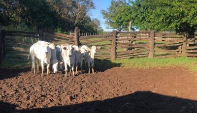 Ladrões de gado que atacavam fazendas de MS são presos em flagrante