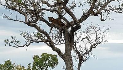 No Pantanal, amigos filmam onça pintada em galho: 'Se ela pular nem dá tempo de funcionar o motor'