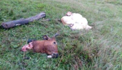 Em MS, Ladrões invadem fazenda, abatem vaca prenha e deixam bezerro morto