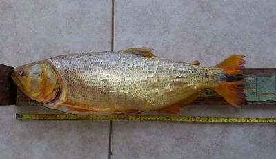PMA do Distrito Águas do Miranda prende e autua paranaense por captura de dourado com pesca proibida