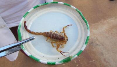 Verão é temporada de escorpiões; saiba o que fazer em caso de picadas