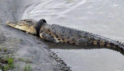 Autoridades oferecem recompensa a quem conseguir retirar pneu preso em crocodilo