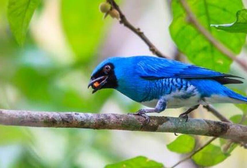 Foto: Diego Cardoso - Saí-andorinha (Tersina viridis)