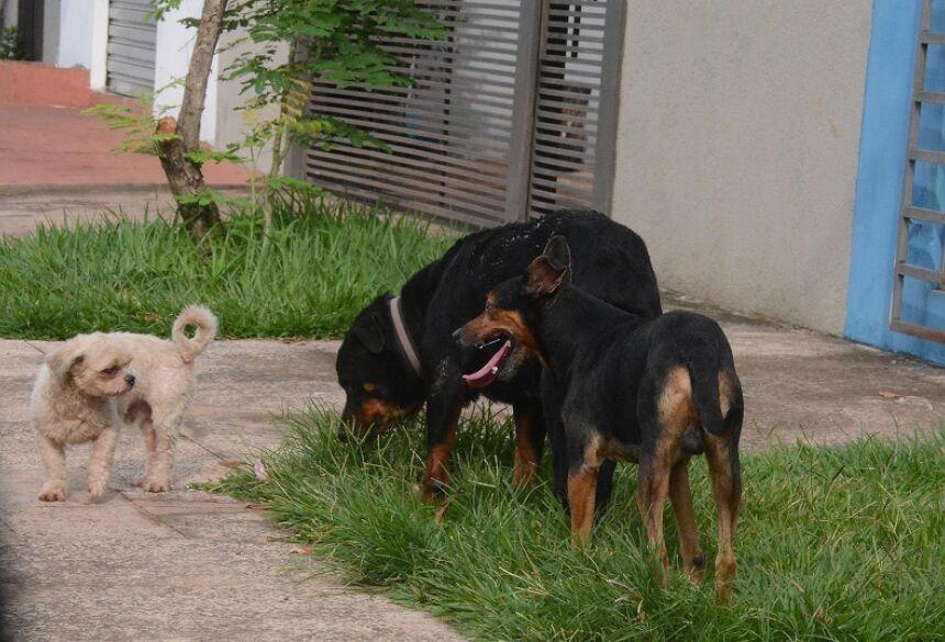 Cães de médio e grande porte circulam sem guia nas ruas - Foto: Álvaro Rezende/Correio do Estado