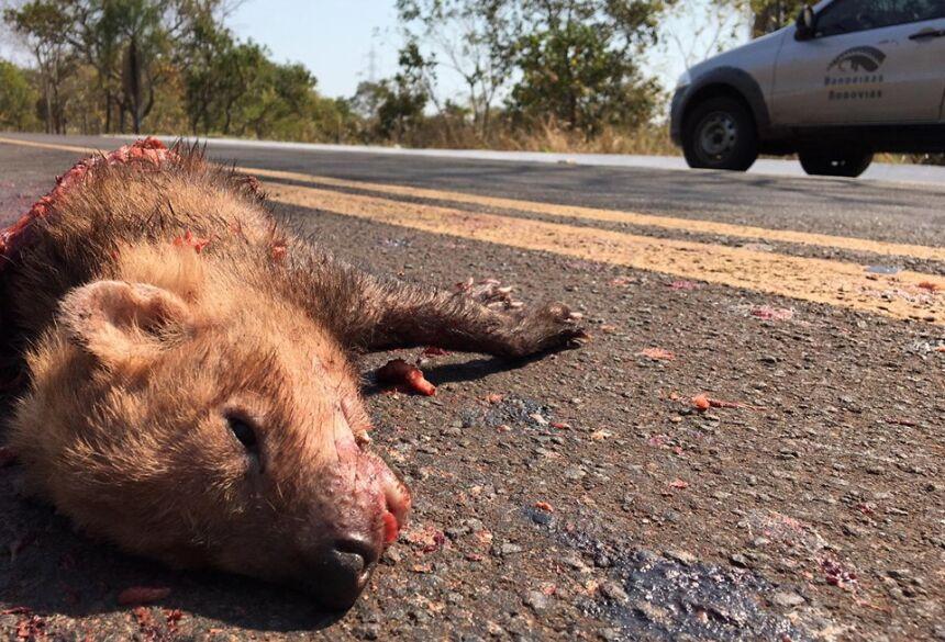 Cachorro-vinagre atropelado em rodovia de MS - Foto: Divulgação / Projeto Bandeiras e Rodovias