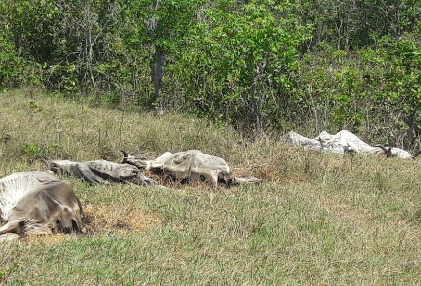 23 cabeças de gado foram encontradas mortas em fazenda de MS  Foto: PMA/Divulgação