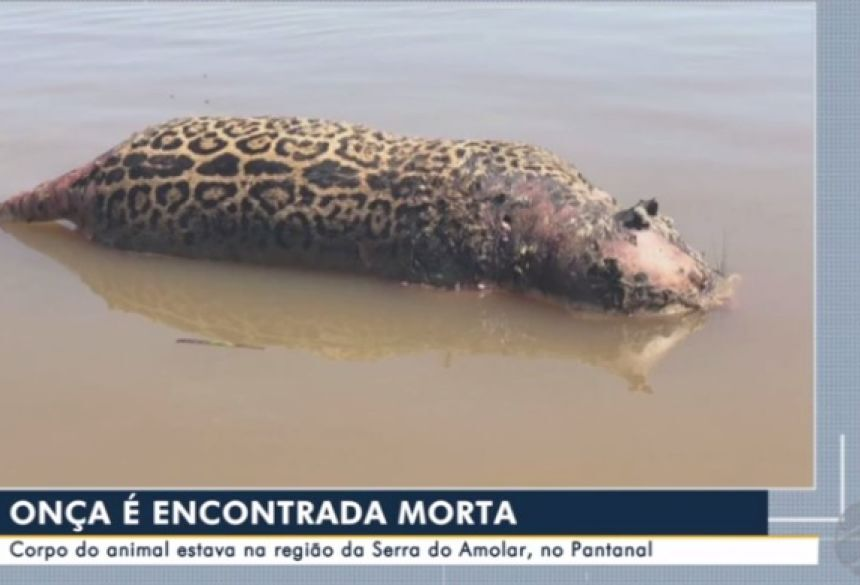 Imagens: TV Morena - Onça é encontrada morta no Pantanal de MS